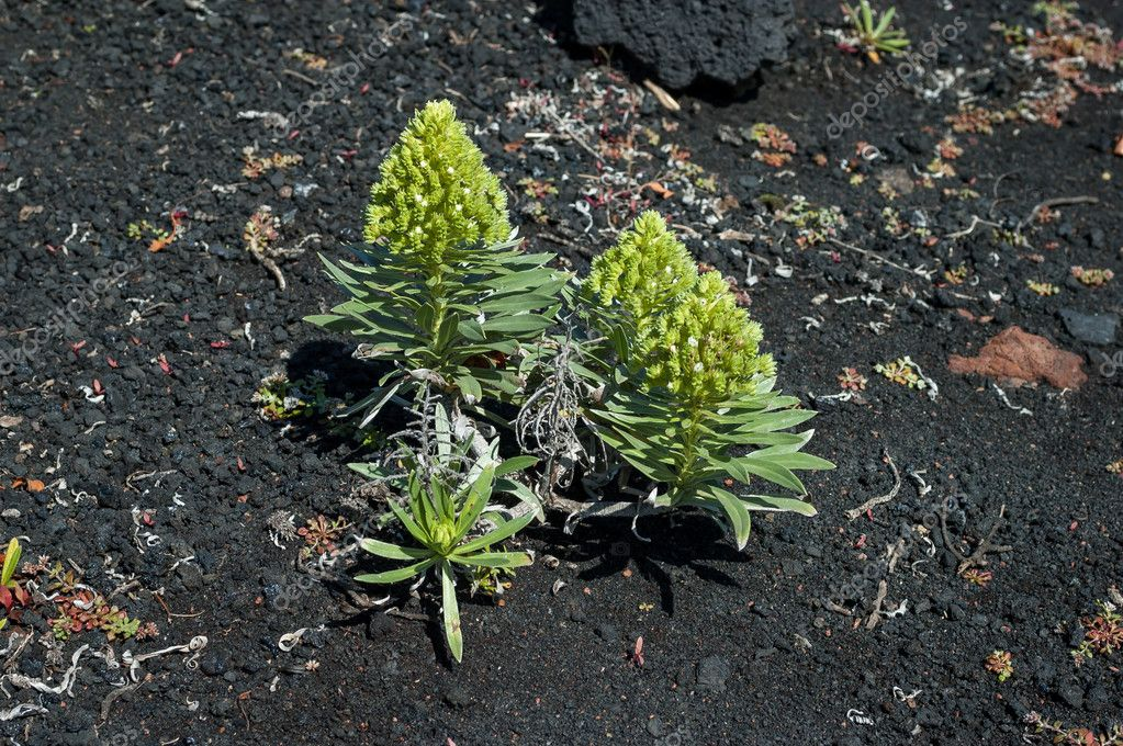 Aeonium vestitum succulent plant