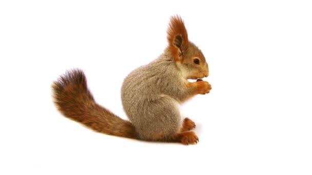 veverka jíst ořechy ve studiu s bílým pozadí