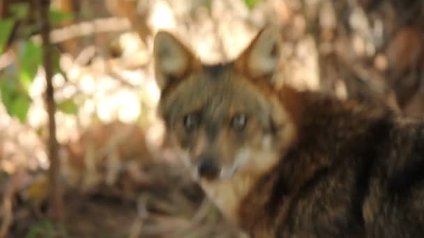 Frightened Animal Corsac Fox