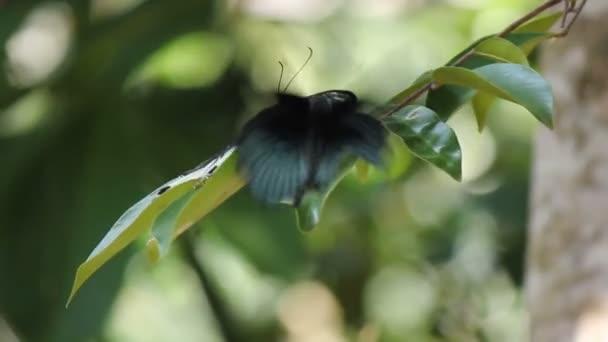Parthenos Sylvia Butterfly repülés