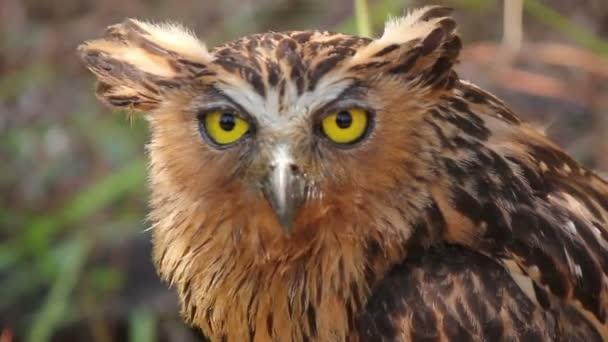 Eagle Owl pták v Asii