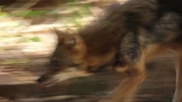 Corsac Fox Walking Slow