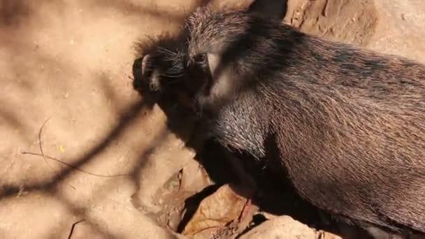 Prase divoké prasátko Pig