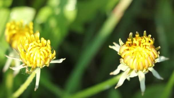 Sluneční paprsky Spreding na pěstování rostlin, pampeliška