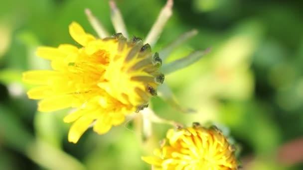 Jarní květiny pěstování rostlin pampelišky Timelapse