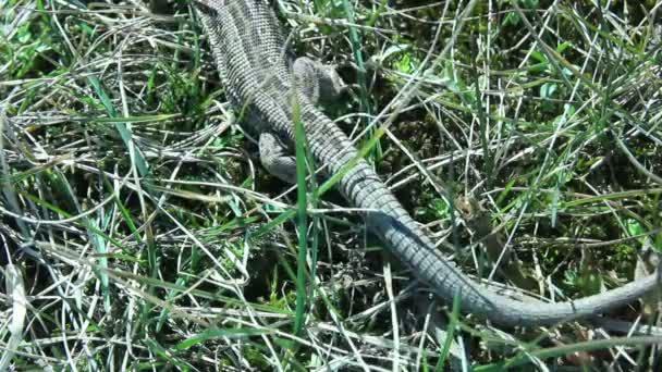 Lacerta Agillis Lizard Long Tail on the Grass Grass