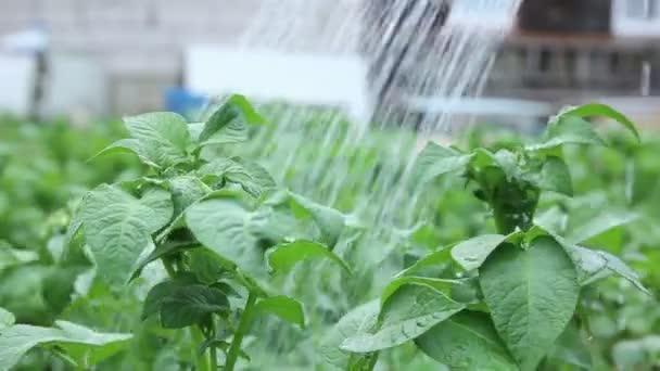 Zalévat rostliny zelené Popato