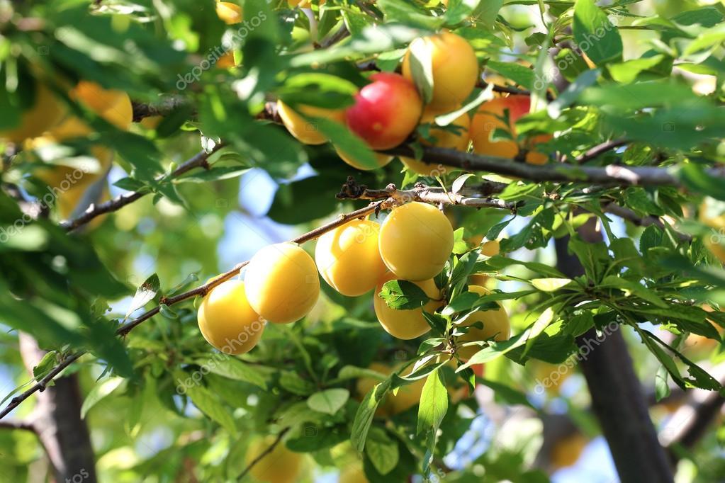 gelbe und rote pflaumen am baum reife pflaume frucht ist reif auf dem ast stockfoto. Black Bedroom Furniture Sets. Home Design Ideas