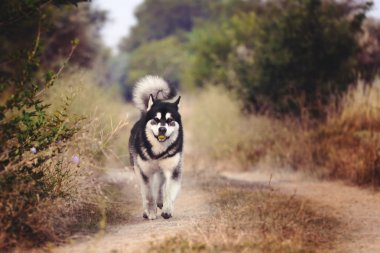 The dog runs along the path in the woods. The Alaskan Malamute holds a green Apple in his mouth.
