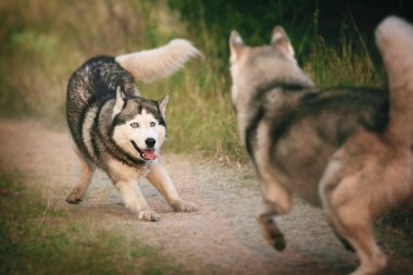 Two dogs having fun playing. Siberian husky escape together.