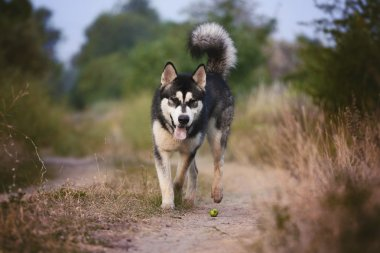 The dog runs along the path in the woods. Alaskan Malamute playing.