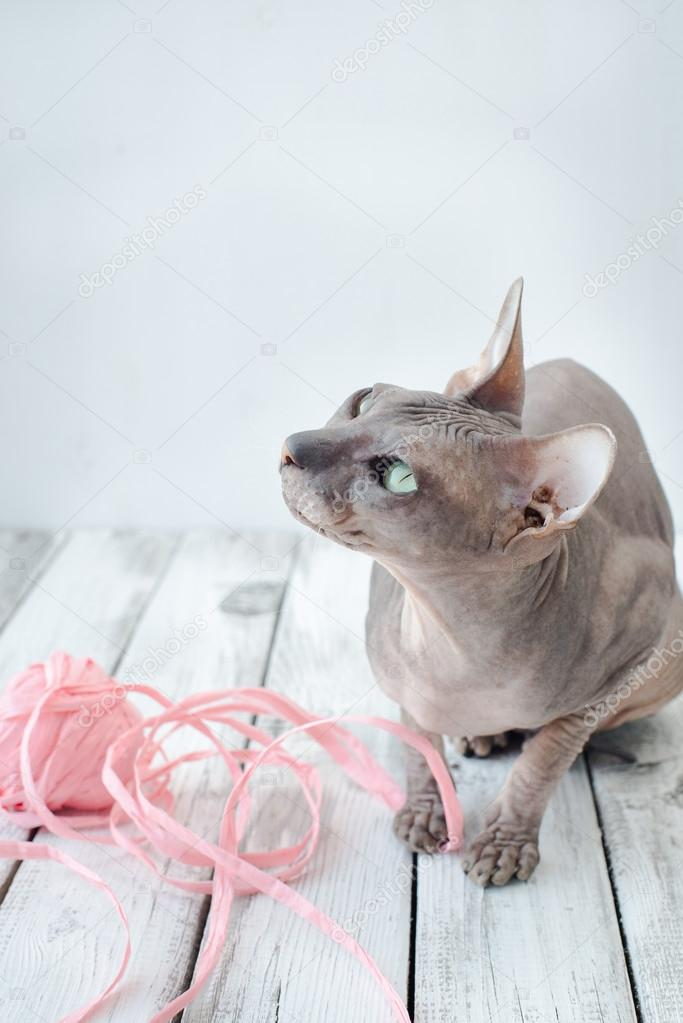 Süße Katze Sphinx Stockfoto Drakonyashka 120938458