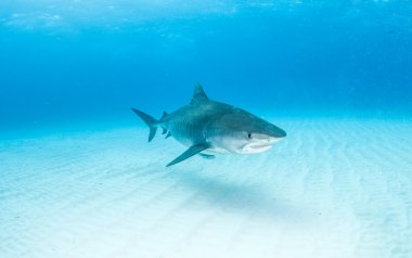 Tiger shark at Bahamas