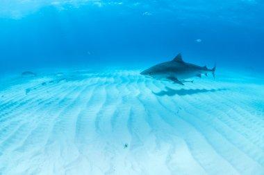 Tiger shark at Bahamas
