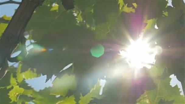 Szőlő, a sun ray