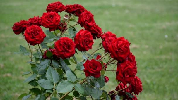 Rosenbusch. Sehr schöne Blumen.