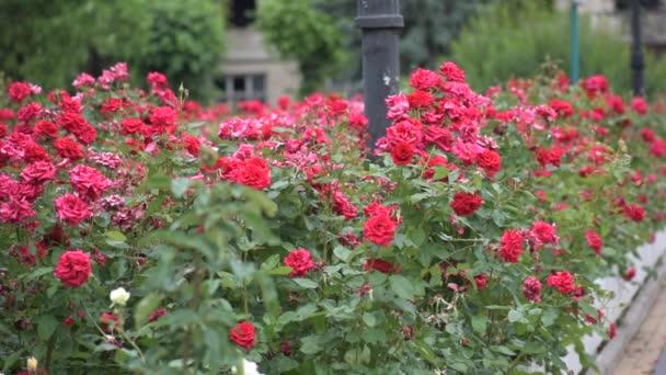 Vörös rózsák közelednek. nagyon szép nyári virágok.