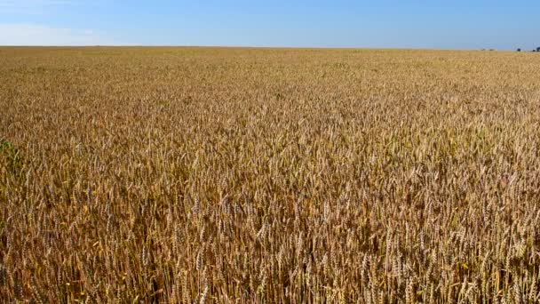 sárga gyönyörű búza mező nő a gazdaságban.