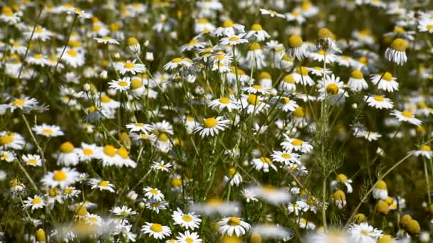 Many daisies bloom on the field.