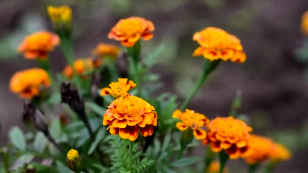 Autumn marigolds bloom and sway in the wind.