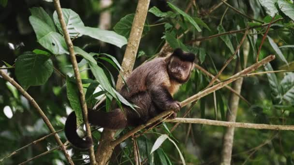 Capuchin monkey sitting on a tree branch