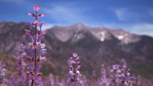 květy levandule a hory