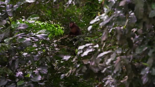 Cappuccini scimmia nella giungla