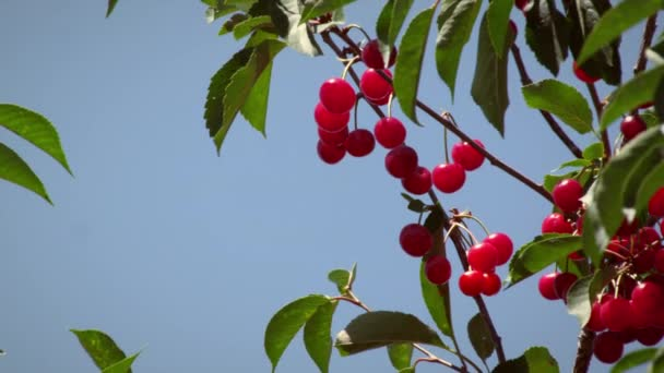 ripe cherry branch with sky.