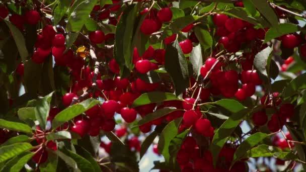 bunches of ripe cherries.