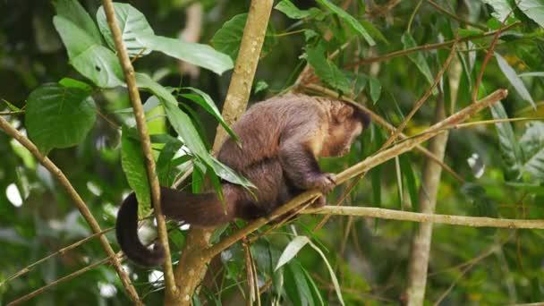 Kapucínský opice sedící na větvi stromu.