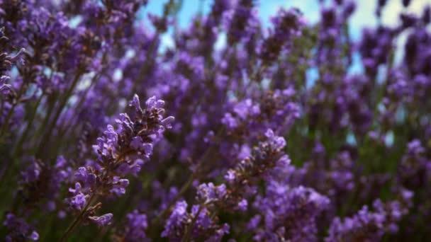 květy levandule a včela
