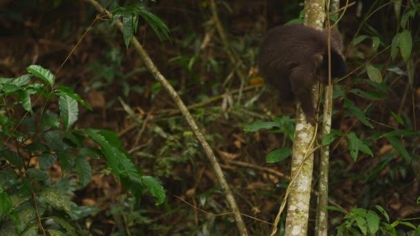Kapucínský opice šplhá dolů stromu