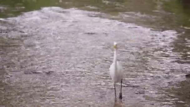 white egret bird wading in water