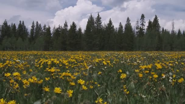 field of sunflowers and pine trees.