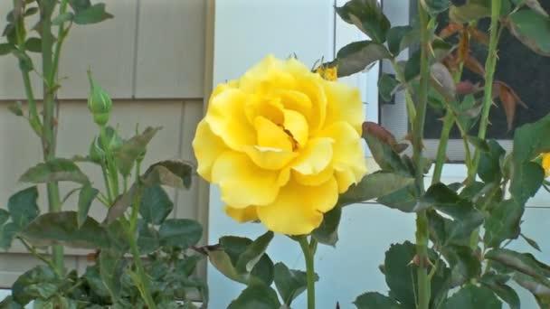 Žlutá růže houpe v jemném vánku