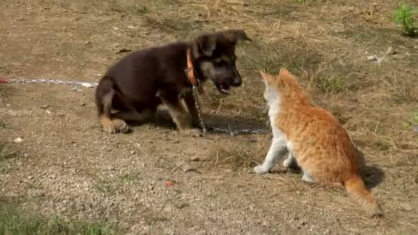 štěně a kočka si hraje