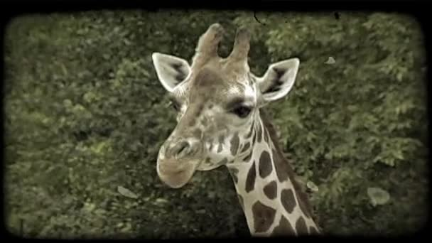 Giraffe chews and slurps its food