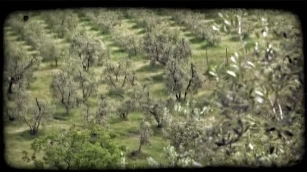 Italian Orchard. Vintage stylized video clip.