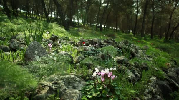 Stock Footage of a rocky forest floor with flowers in Israel.