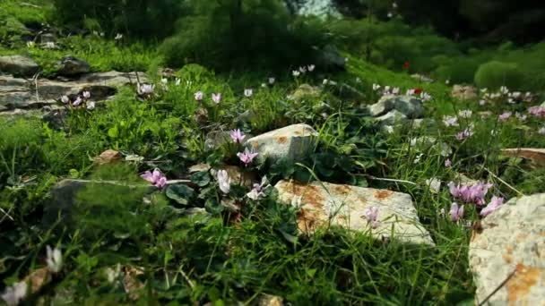 Stock Footage of a flowered and rocky forest floor in Israel.