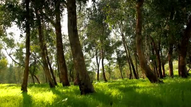 Stock Footage of a grassy forest floor in Israel.