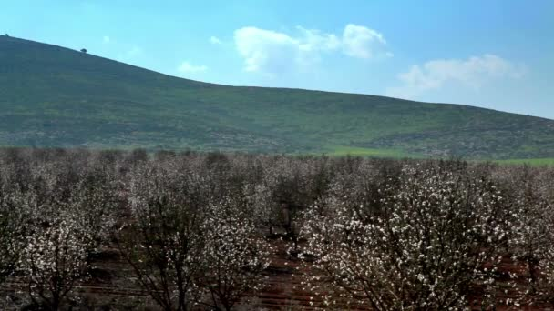 Stock Footage of a blooming almond orchard in Israel.