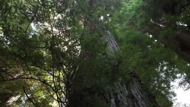 Nagy mamutfenyő fa törzse