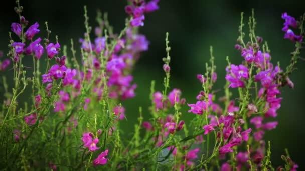 gyönyörű snapdragons virágok