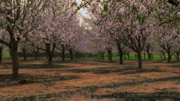 Kvetoucí sad řádků v Izraeli