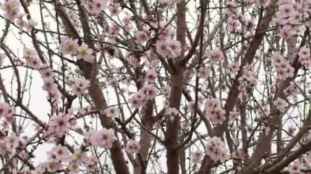 Royalty Free akcií Video záběry z růžové Kvetoucí strom větví výstřel v Izraeli