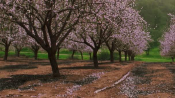 Royalty Free akcií Video záběry z kvetoucí růžový sad v Izraeli