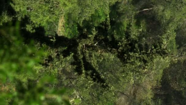 Royalty Free akcií Video záběry z lesních stromů v Izraeli