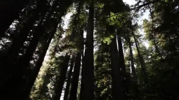 Shadowed, tall trees