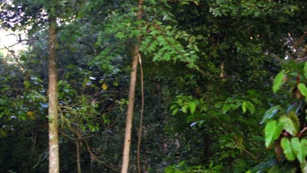 Pan ze stromů a vinné révy keňský deštného pralesa